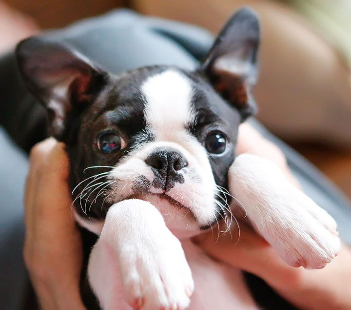 How to Take Care of Your Boston Terrier